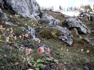 Hofalmen Filzmoos - Schneerosenblüte