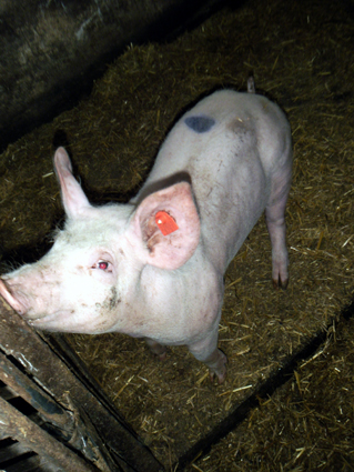 Schweinchen Rudi - der Star vom Richlegghof